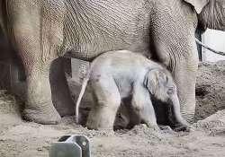 Kiselefánt született a fővárosi állatkertben