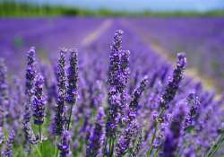 A június színe: a lila - Levendulás programok országszerte